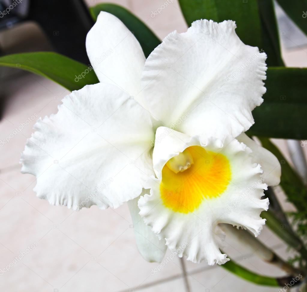Orquídea Cattleya Branca Stock Photo Doraclub 27668071