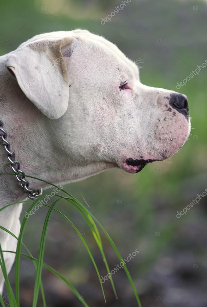 Dogo Argentino portrait