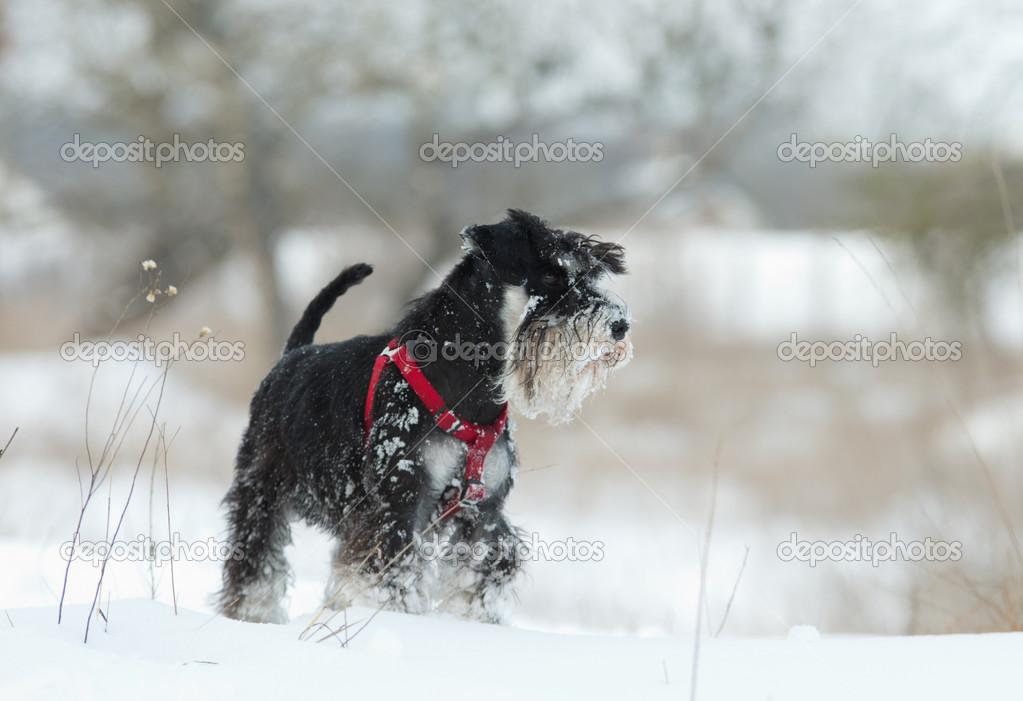 Schnauzer on snow