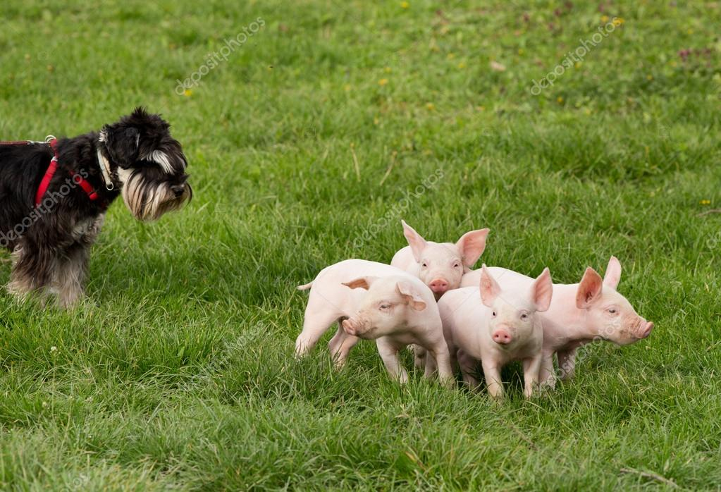Dog with piglets