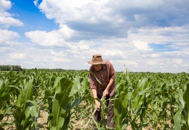 Weeding corn field with hoe