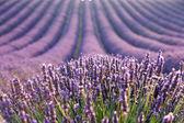 Levander field at sunrise