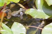 žába na mokrém listí