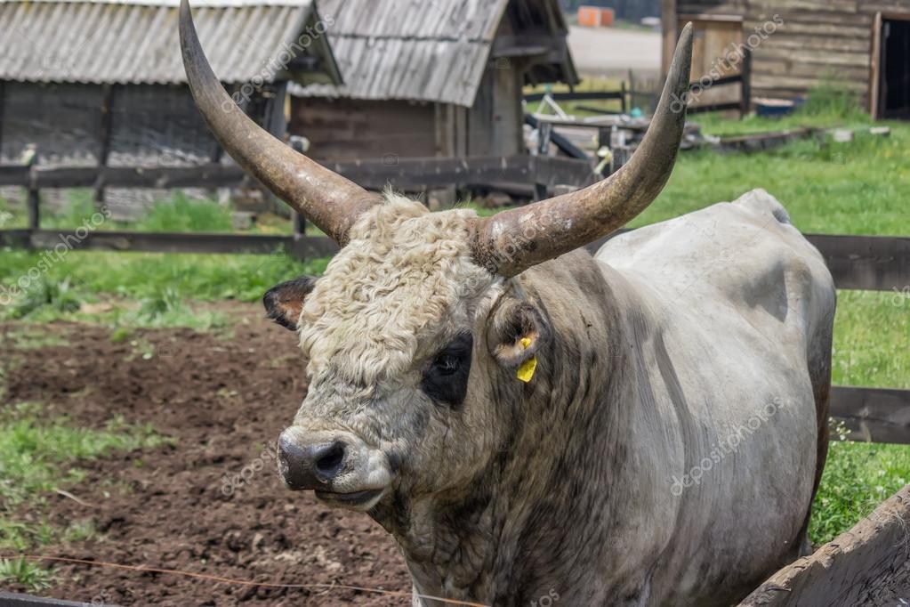 Toro di podolica con grandi corna alla fattoria foto for Piani di fattoria con foto