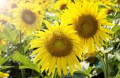 Slunečnice na pole v létě