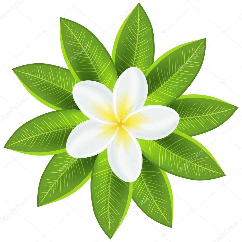Belle Fleur Tropicale Blanche Image Vectorielle Kannaa C 27500363