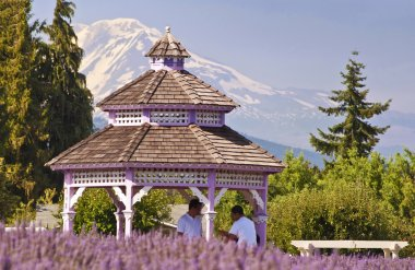 A beautiful lavender farm in hood river