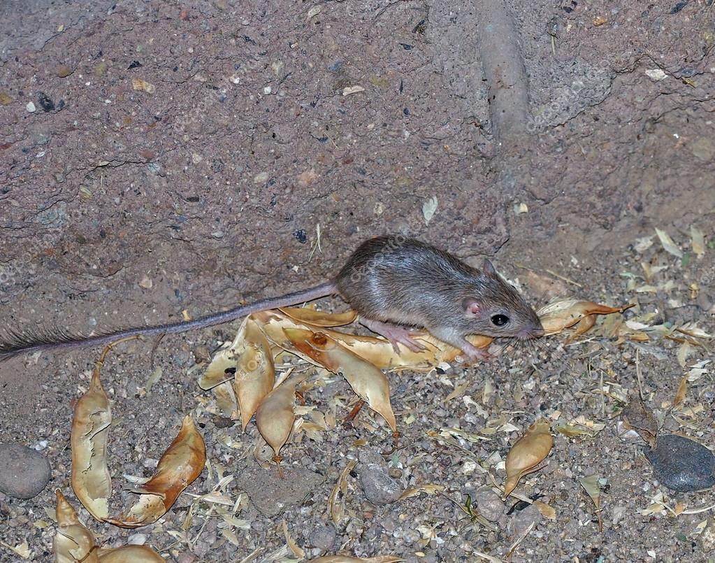 rato canguru selvagem fotografias de stock eibhir 27354173