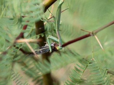 Praying Mantis Eating A Cicada