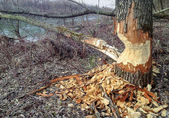 Photo Beaver Tree Damage
