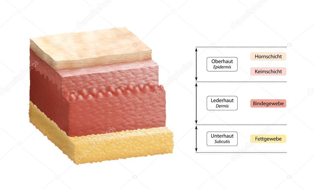 etiquetado de las capas de la piel humana - alemán — Fotos de Stock ...