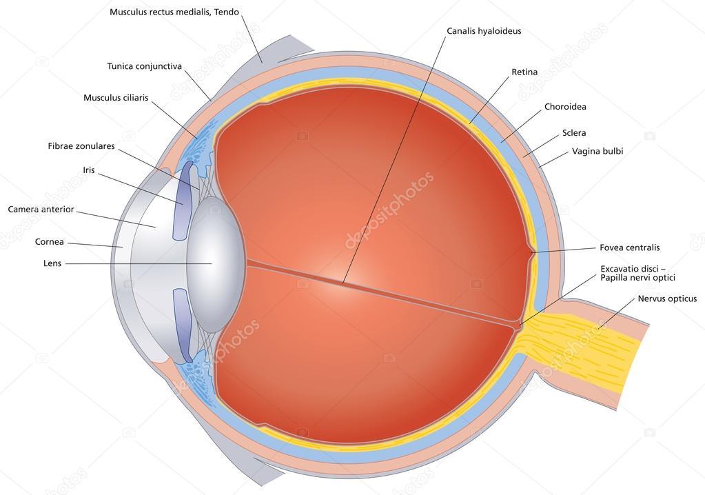 estructuras del ojo humano con la etiqueta — Vector de stock ...