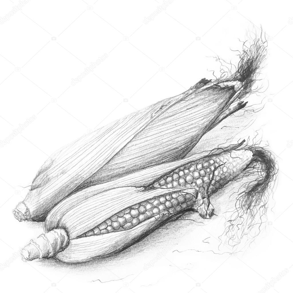 dibujo a lápiz maíz mazorca — Foto de stock © Furian #48476205