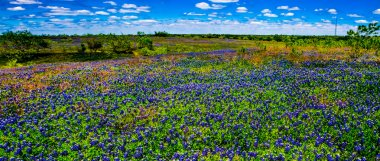 A Beautiful Wide Angle Panoramic View of a Texas Field Blanketed with the Famous Texas Bluebonnet