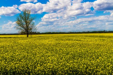 Wide Angle Shot of a Field of Beautiful Bright Yellow Flowering Canola (Rapeseed) Plants Growing on a Farm in Oklahoma with Blue Skies, Clouds, and a Tree.