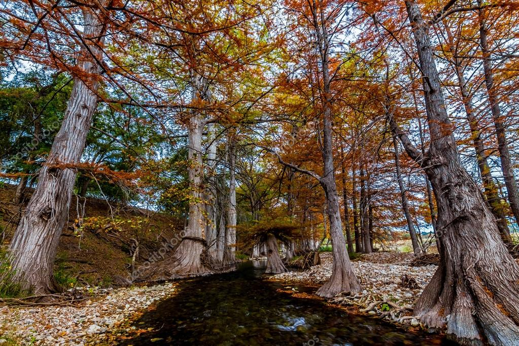 Large Cypress Trees with Stunning Fall Color Lining a Crystal Clear Texas Hill Country Stream Near the Guadeloupe River.