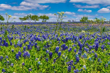 A Beautiful Wide Angle View of a Texas Field Blanketed with the Famous Texas Bluebonnets