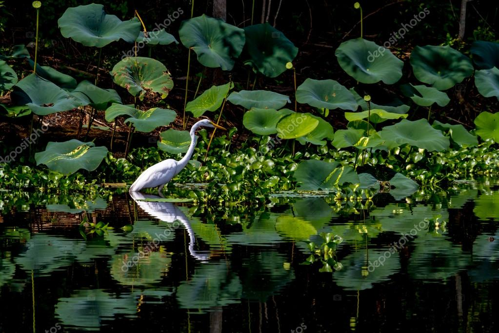 A Beautiful Great White Egret with Reflection