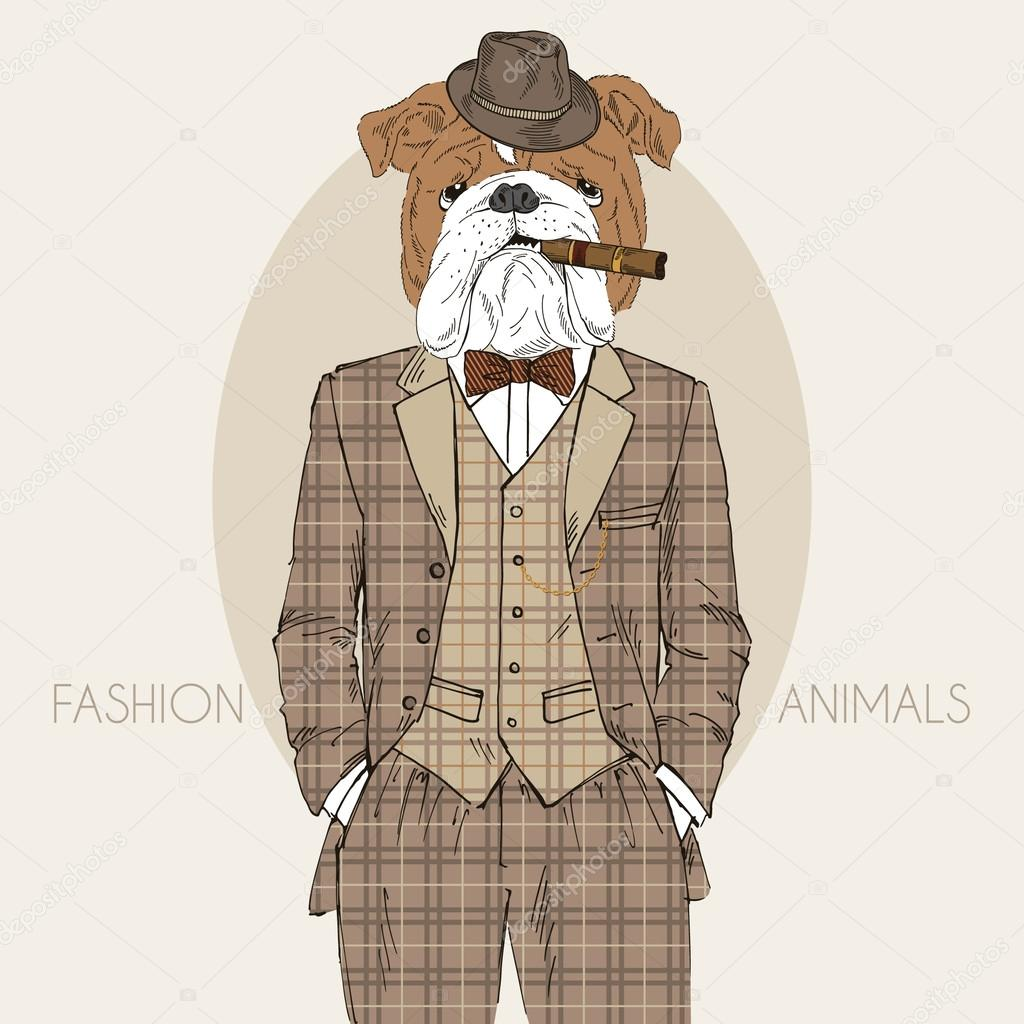 Dressed up english bulldog, in colors
