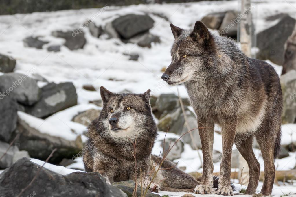 A Pair of Wolves in winter snow