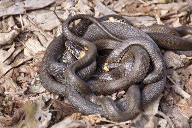 Grass snakes in the mating season.