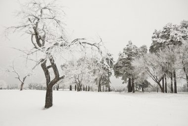 Snowy apple tree in a wintertime, Russia.