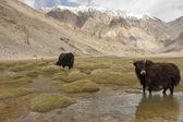 Weidende Yaks im Frühling ladakh, Indien.