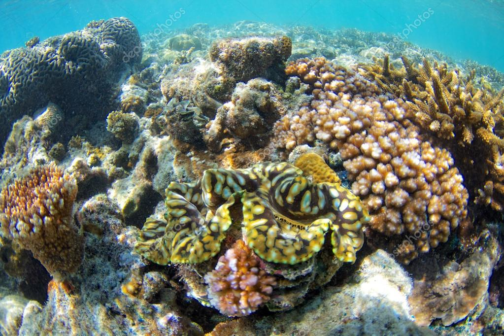Giant Clam On Coral Reef