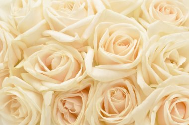 Beautiful white rose background