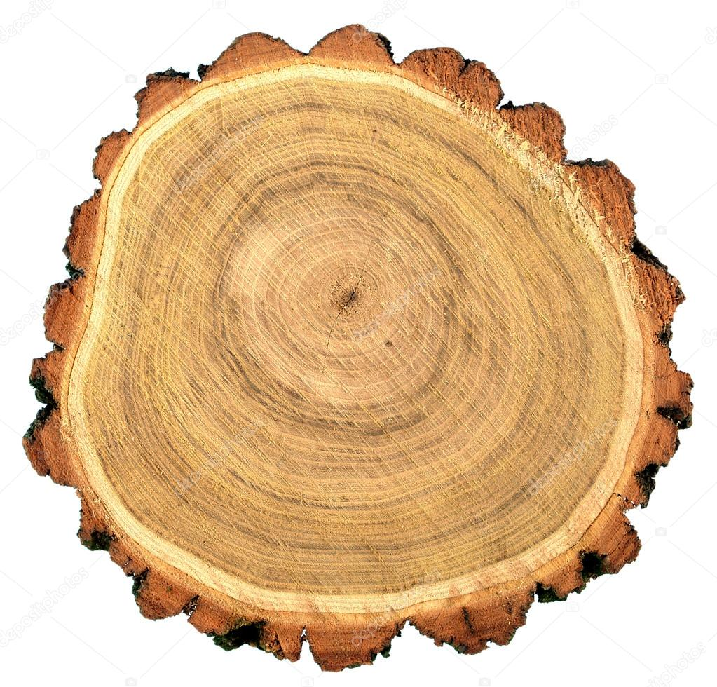 Round cut of robinia black locust tree