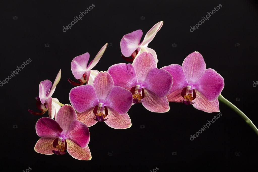 Colored cultivated orchid isolated over black background