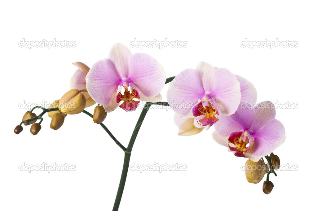 Colored cultivated orchid isolated on white background