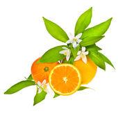 Citrus fruit - orange