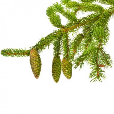 Green fir branches with fresh pine cones isolated on white background