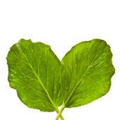 čerstvé velké zelené listy rostliny s listy