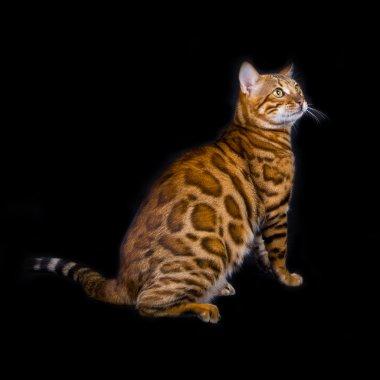 Purebred bengal cat