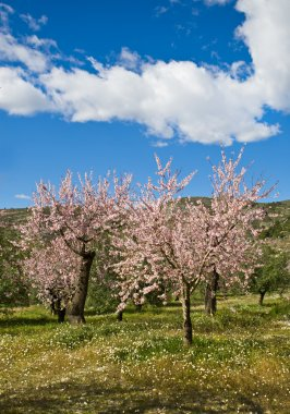 Almond orchard in blossom, Alicante, Spain, flowering almond trees on a sunny day, blue sky and white clouds stock vector