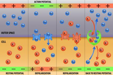 Nerve impulse action potential of neuron