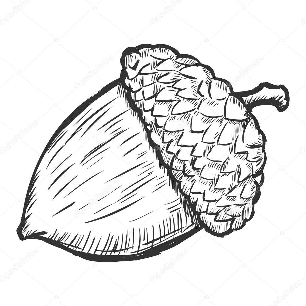 Vector sketch illustration - acorn