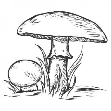 Vector sketch illustration - two mushrooms