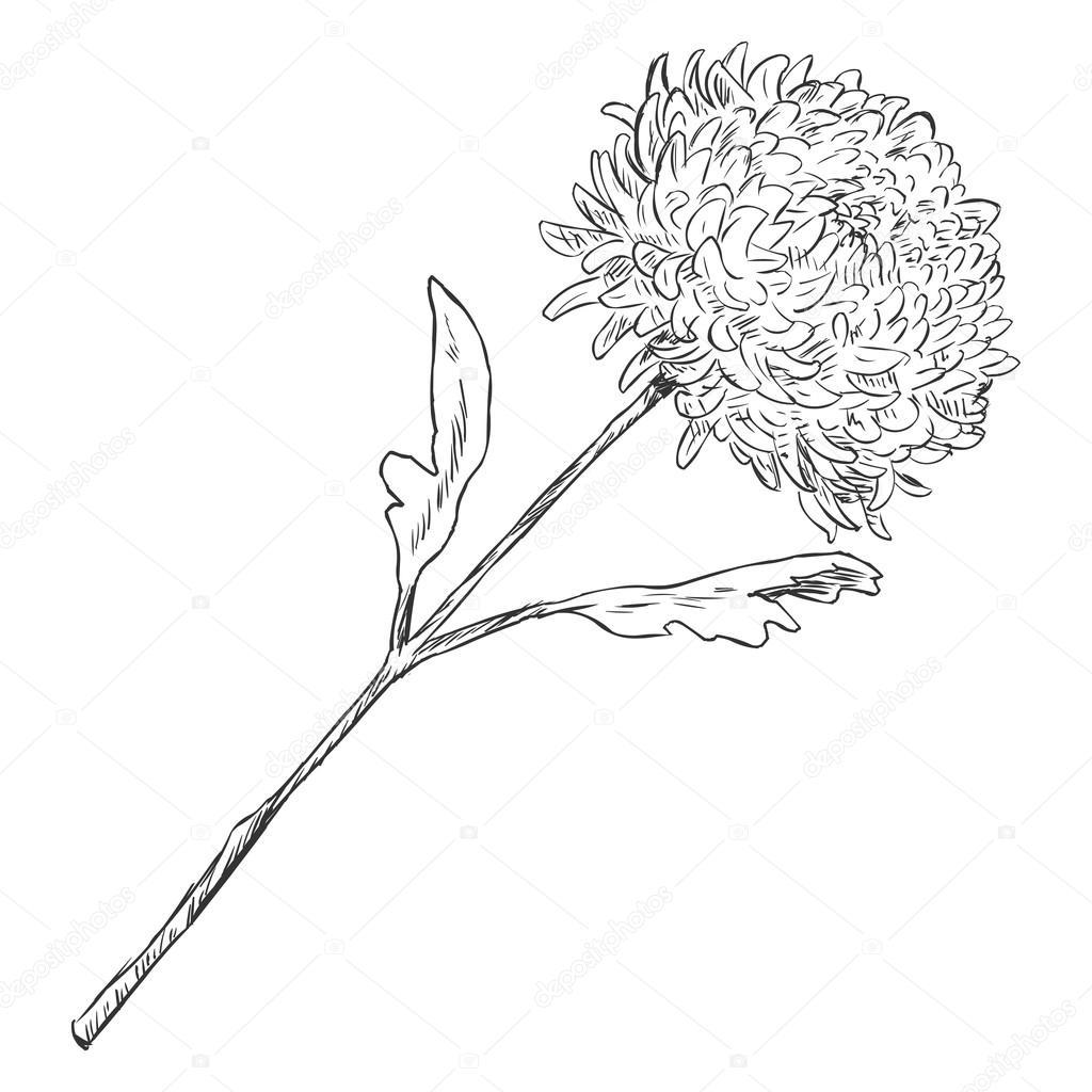 Vector Sketch Illustration - chrysanthemum