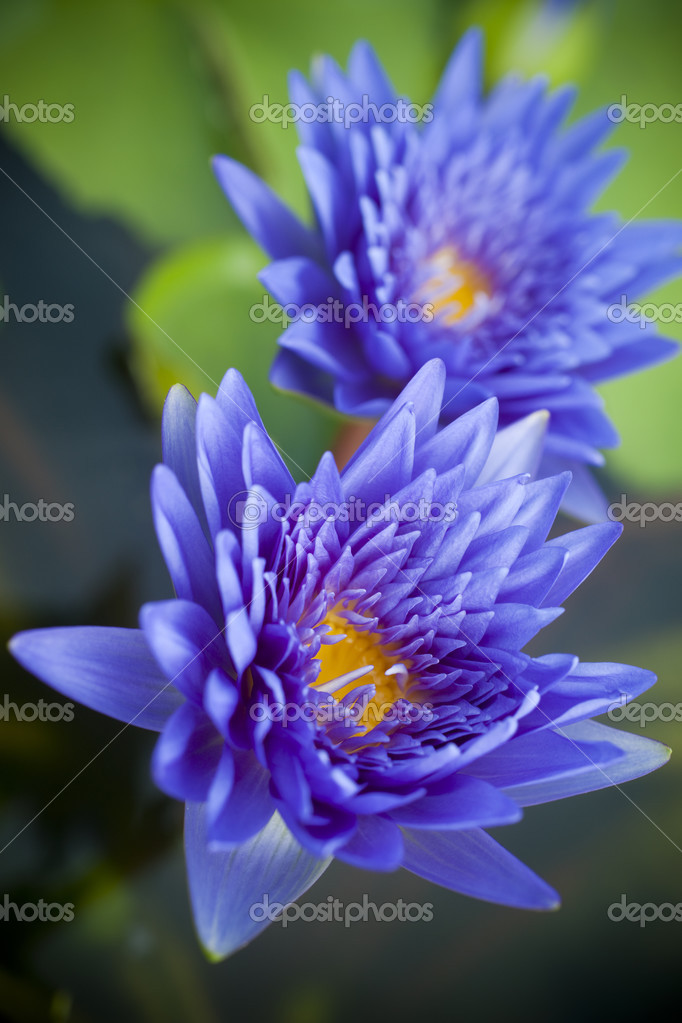 Fleur de lotus bleu \u2014 Photographie AppleEyesStudio © 28457235