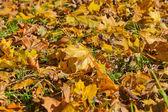 pozadí žluté podzimní listí javor