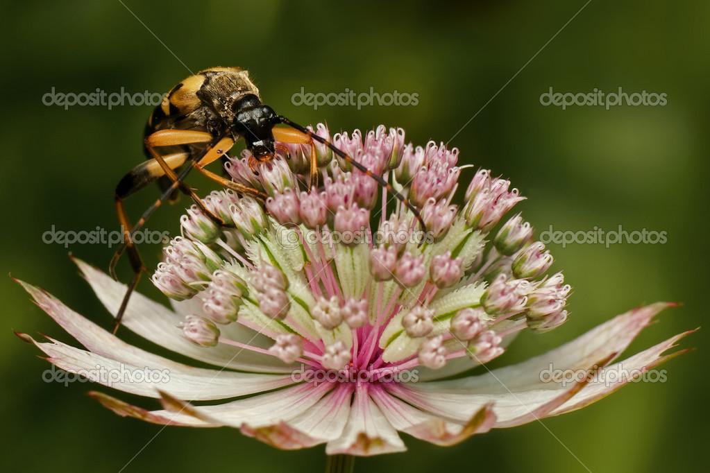 Longhorn beetle in astrantia flower