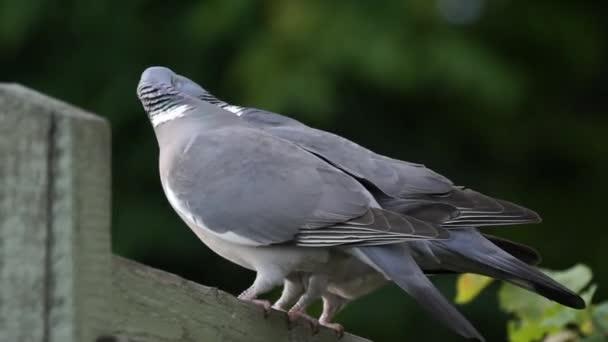 Pigeons mating