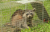 Fotografie Trapped Raccoon