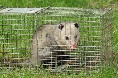 Opossum in a Trap