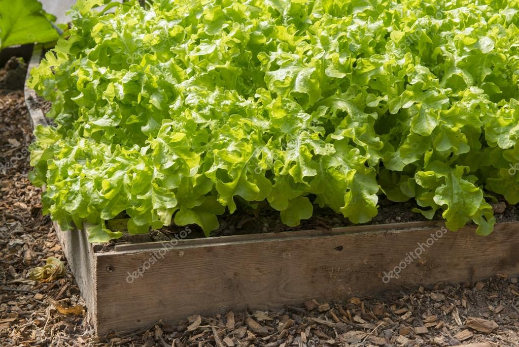 Lettuce growing in a raised bed in a polytunnel