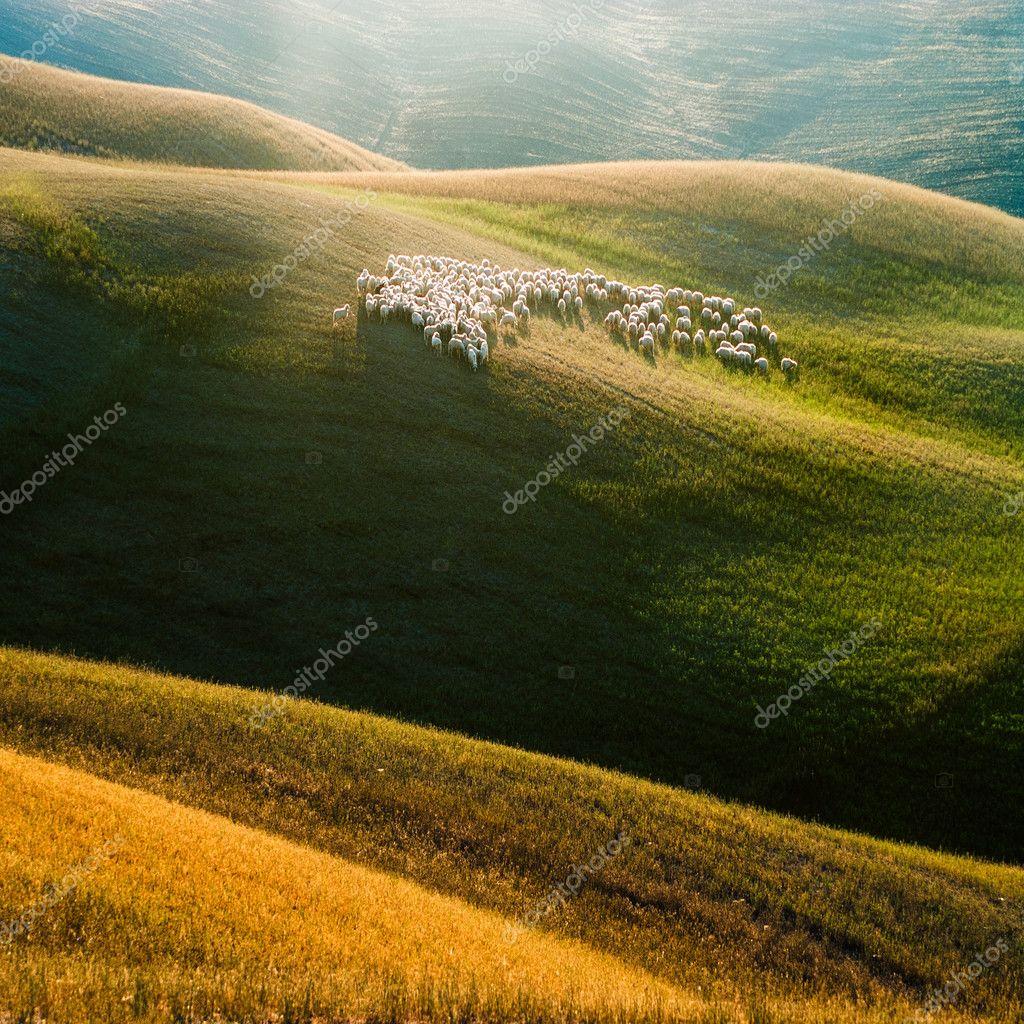 Tuscan sheep grazed on wavy field in a beautiful light.