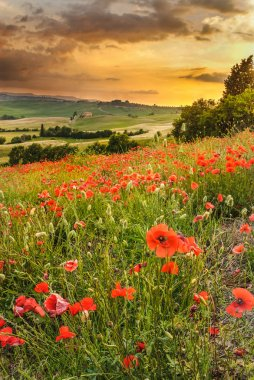 Poppies in the Tuscan hills with a beautiful sunset, Pienza, Ita